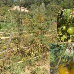 Biodiversità, nasce la Comunità del Cibo del Pomodoro giallo del Cilento